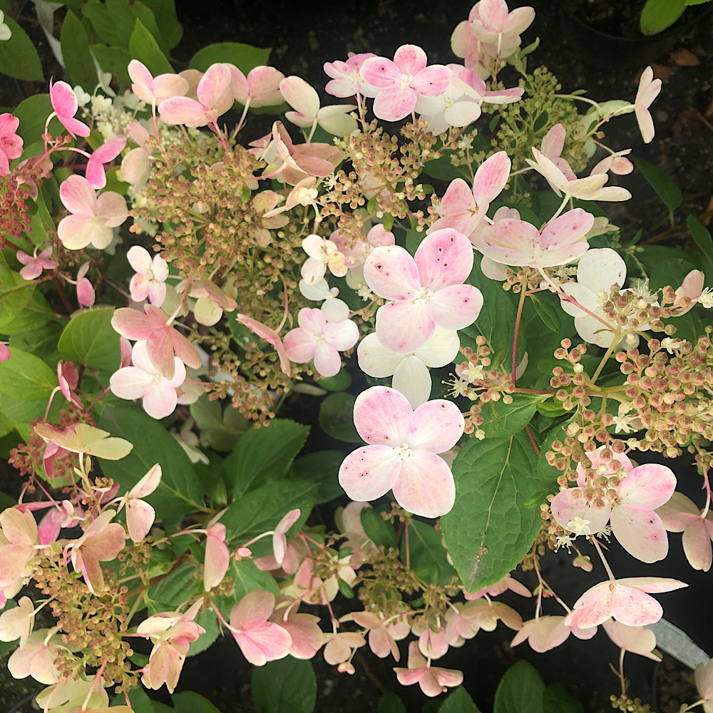 Hydrangea paniculata 'Early Sensation' - Find Azleas,Camellias,Hydrangea and Rhododendrons at Loder Plants