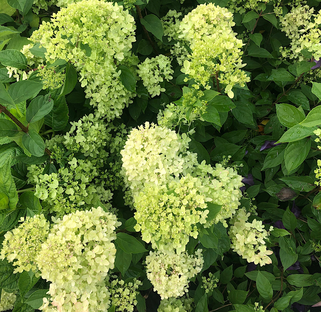 Hydrangea paniculata 'Little Lime' - Find Azleas,Camellias,Hydrangea and Rhododendrons at Loder Plants